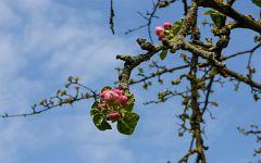Kirschblüte & Apfelblüte 2019 in Waibstadt